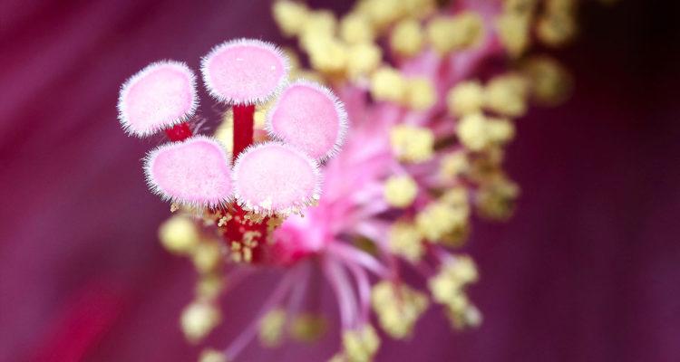 Hibiscus - Hortus Focus