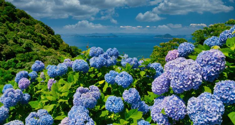 Hydrangea paysage - Hortus Focus