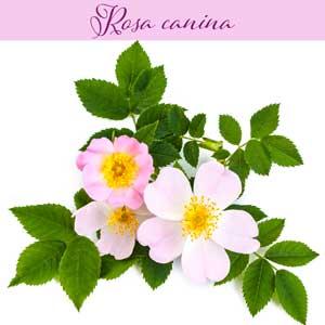 l'églantier - Rosa canina