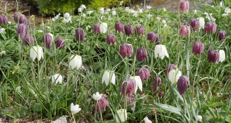 Fritillaria meleagris - Hortus Focus