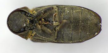 Thanatose coleoptère - Hortus Focus
