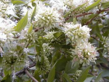 fleurs : Abelia chinensis - Hortus Focus