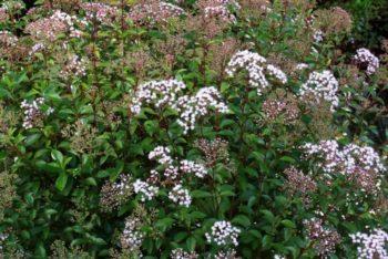 Arbustes : Agertina ligustrina - Hortus Focus