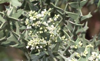 fleurs :  Colletia curciata - Hortus Focus