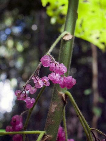 Dendronicde moroides fruit - Hortus Focus