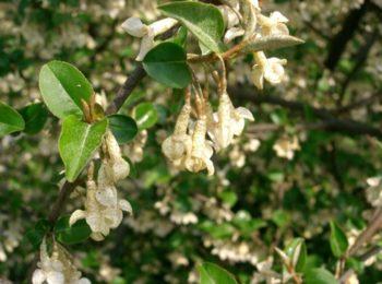 Eleagnus multiflora - Hortus Focus