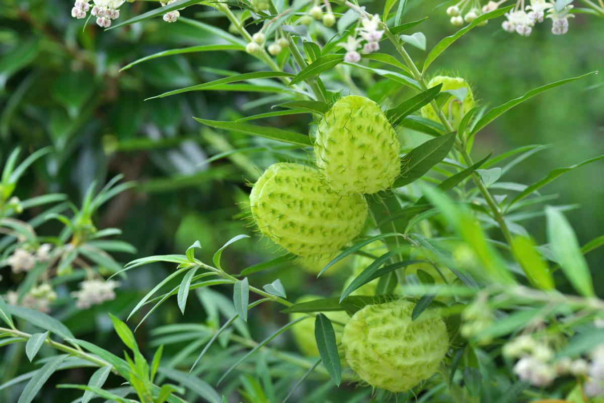 Gomphocarpus physocarpus - Hortus Focus