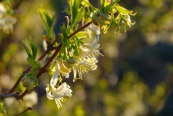 Lonicera fragrantissima - Hortus Focus