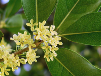 Osmanthus fragrans - Hortus Focus