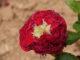 prolifération sur rosier - Hortus Focus