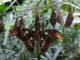 Attacus atlas - Hortus Focus