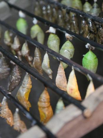 Chrysalide - serre aux papillons - Hortus Focus