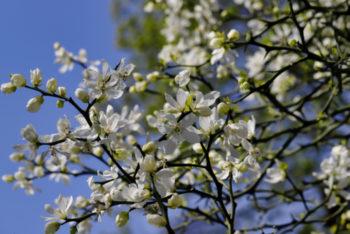 Poncirus trifoliata - Hortus Focus