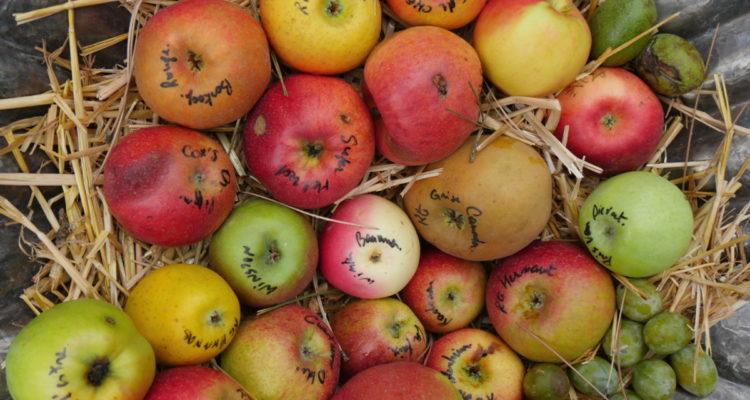 Variétés de pommes - Hortus Focus