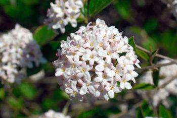 Viburnum carlesii - Hortus Focus