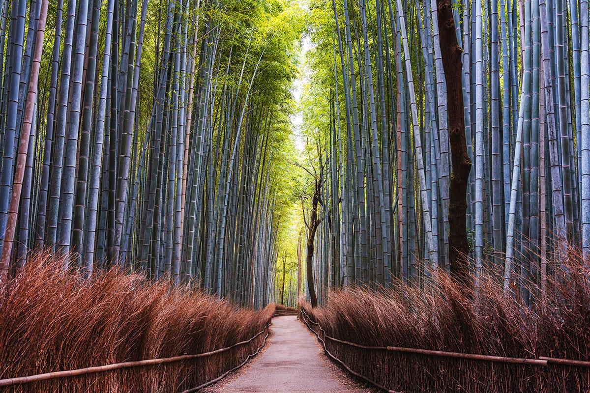 Bambous géants - Hortus Focus
