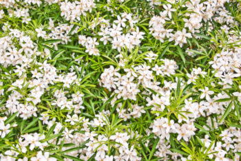 fleurs : Choisya - Hortus Focus