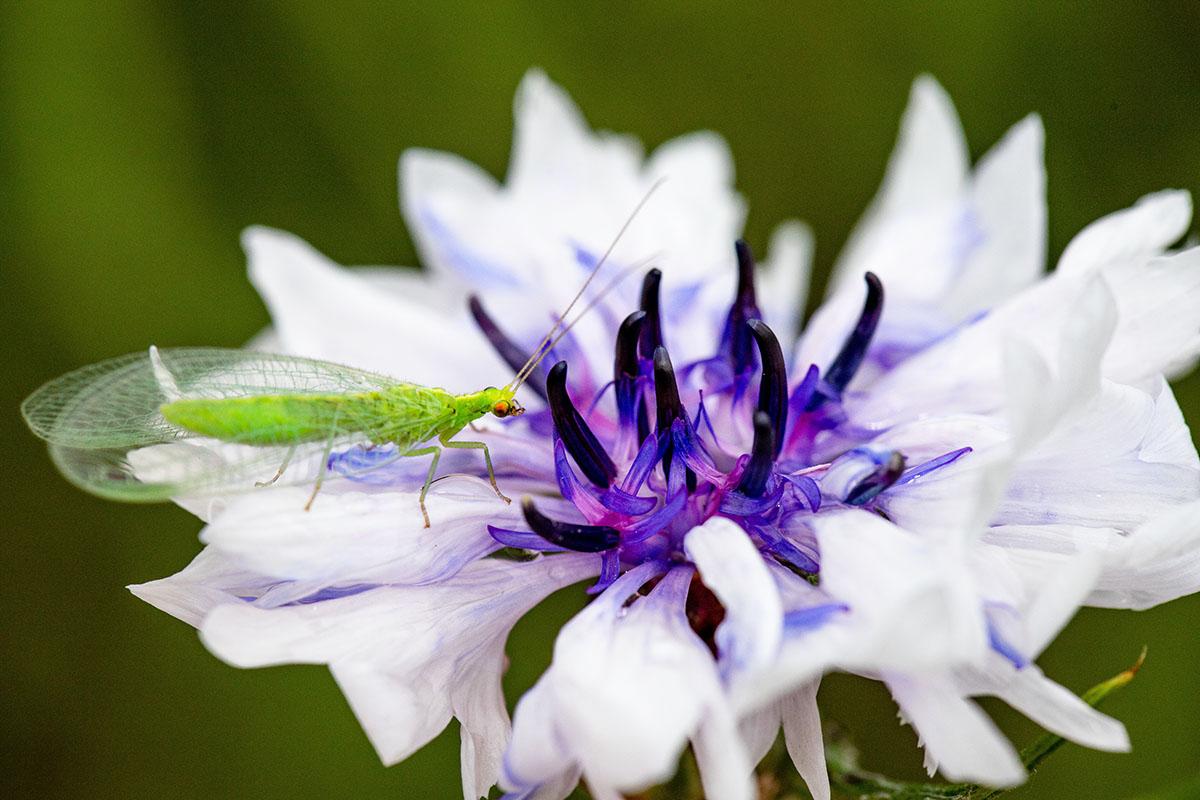 chrysope - Hortus Focus