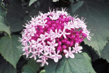 fleurs : Clerodendron Bunge - Hortus Focus