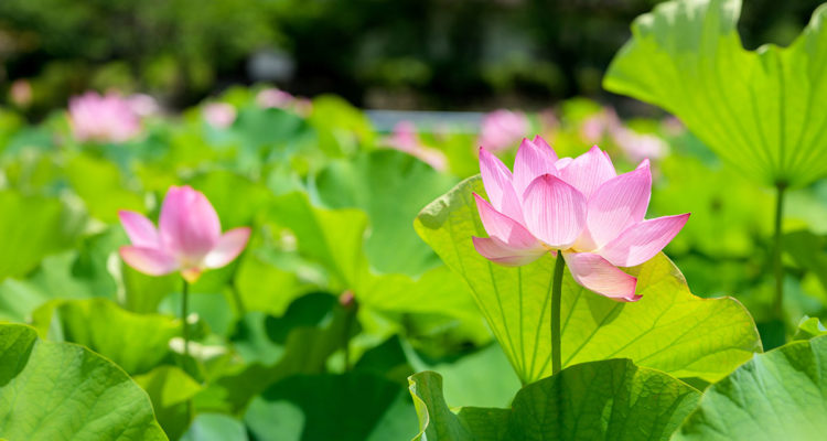 Lotus - Nelumbo - Hortus Focus