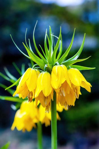 Fritillaria imperialis - Hortus Focus