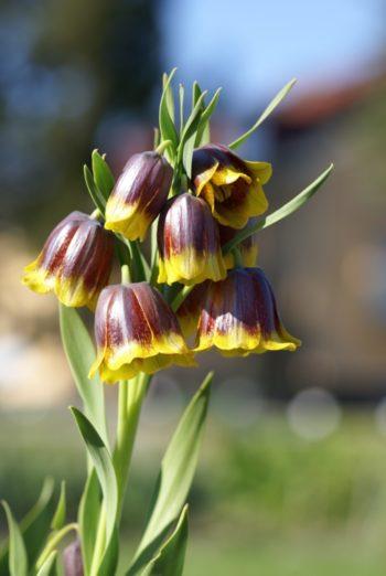 Fritillaria michailovsky - Hortus Focus