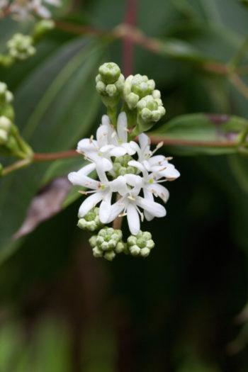 Heptacodium miconioides - Hortus Focus
