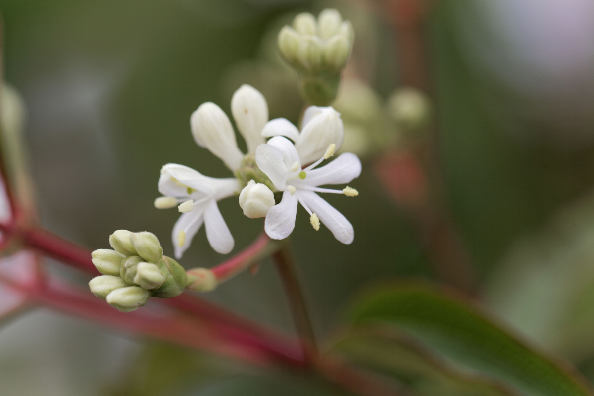 Heptacodium miconoides - Hortus Focus