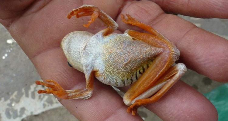 grenouille thanatose - Hortus Focus