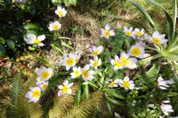 Tulipa saxatilis - Hortus Focus