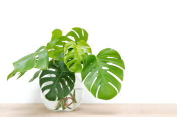 Bouture de monstera - Hortus Focus