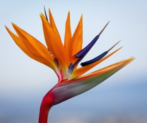 Oiseau de paradis - Hortus Focus