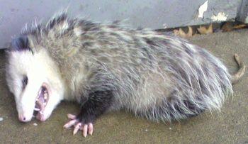 opossum thanatose - Hortus Focus