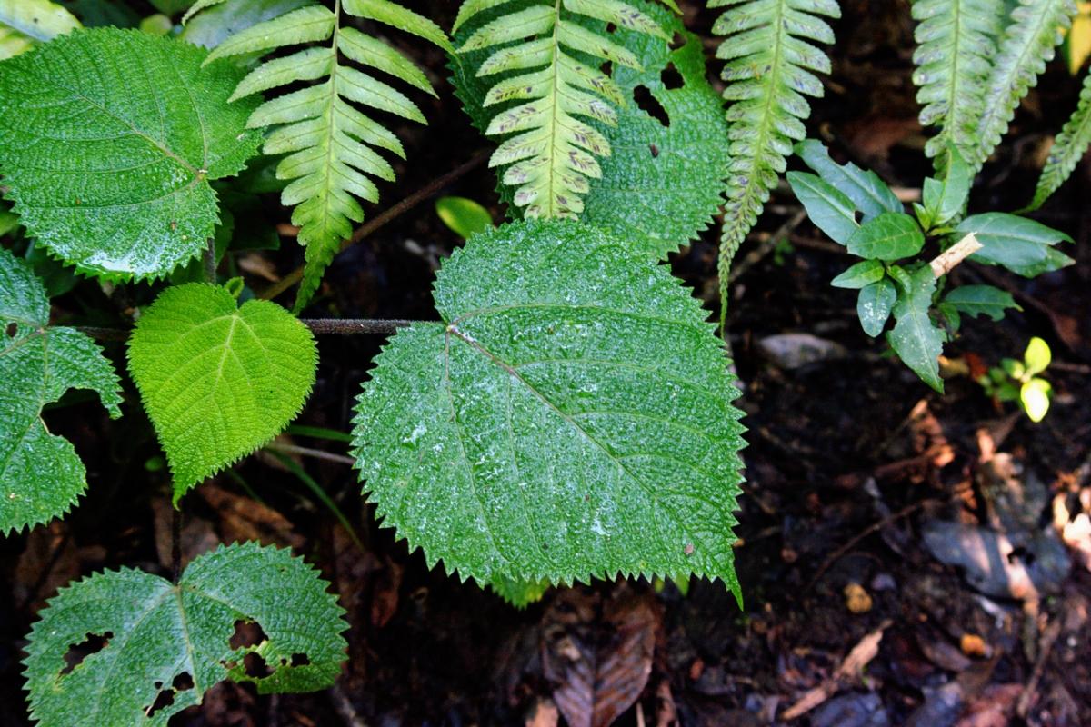 Dendocnide moroides - Hortus Focus