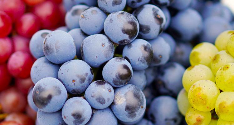 raisins - Hortus Focus