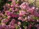Symphorine 'Magical Sweet' - Hortus Focus