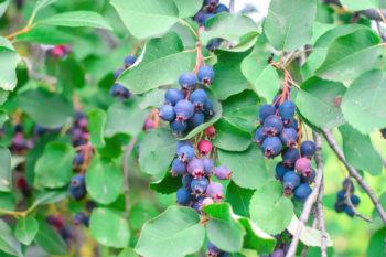 Amelanchier alnifolia - Dubasov Evgenii