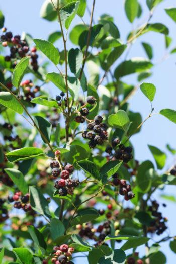 Amelanchier canadensis - Hortus Focus