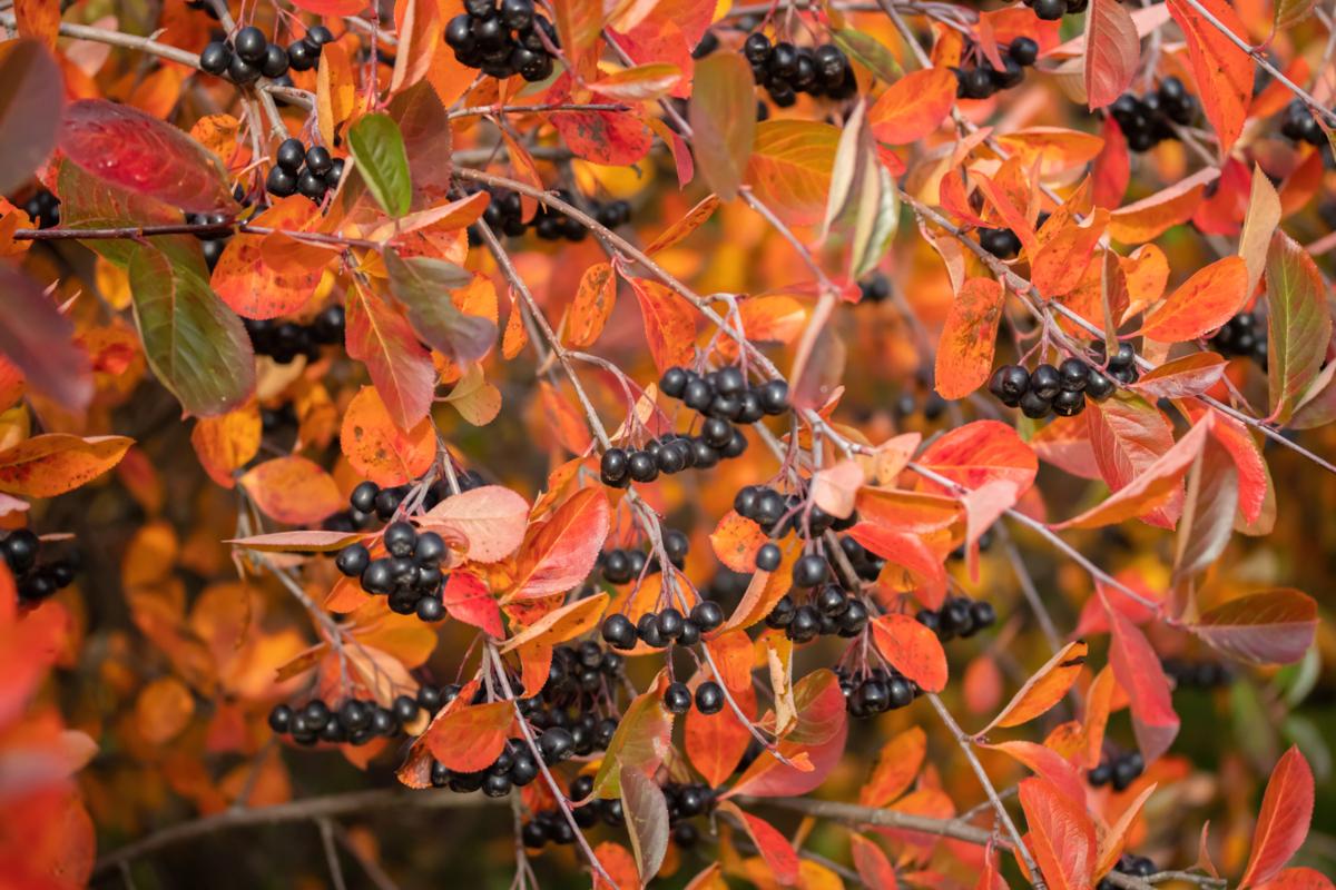 Aronia melanocarpa - Hortus Focus