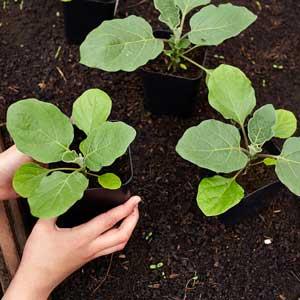 aubergine : semis et plants