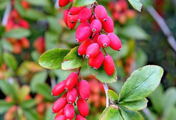 Berberis vulgaris - Hortus Focus