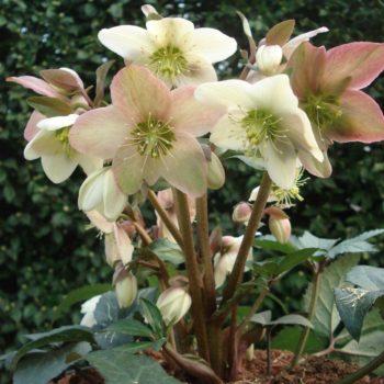 Helleborus nigercors - Hortus Focus
