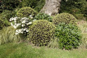 Pittosporum - Rhododendron yakushimum - Hortus Focus