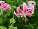 Lilium specious - Hortus Focus