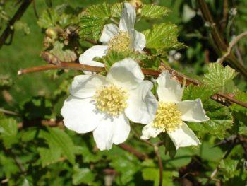 Rubus deliciosus - Hortus Focus