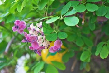 plantes grimpantes Akebia quinata - Hortus Focus
