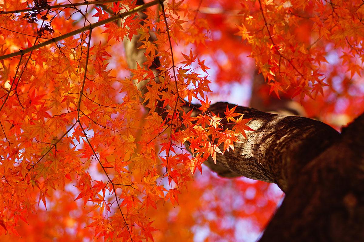 érable en automne - Hortus Focus