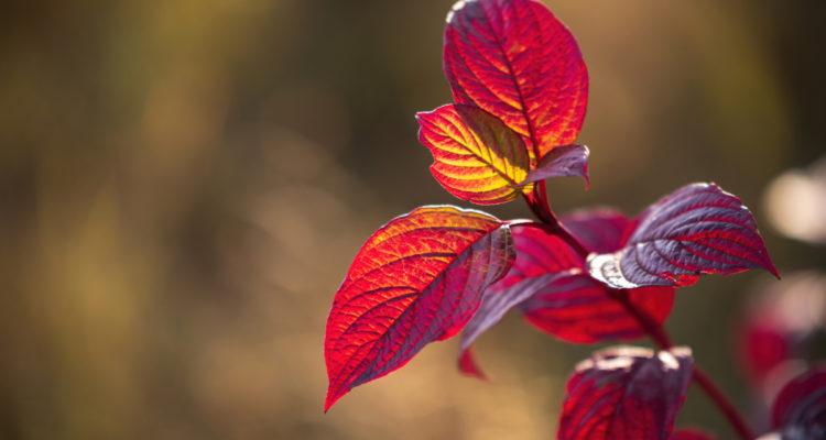 Cornus alba en automne - Hortus Focus