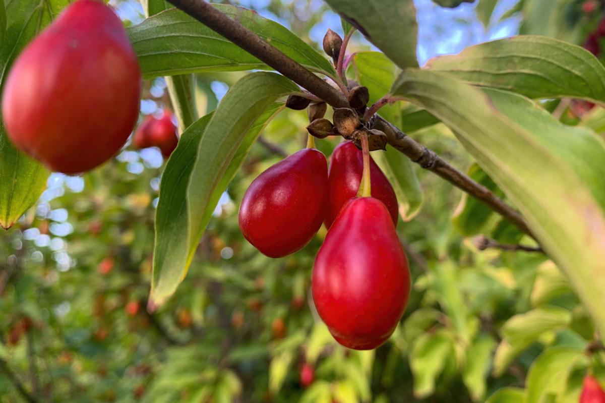 fruits de Cornus mas - Hortus Focus
