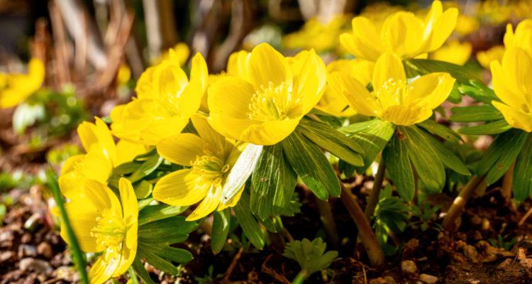 Eranthis hyemalis - Hortus Focus